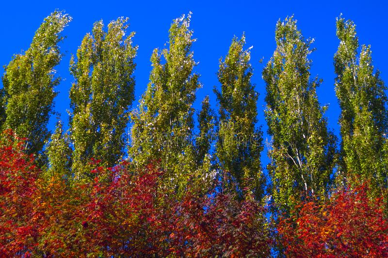 Lombardy Poplar Tree Tops Against Blue Sky On A Windy Day. Abstract Natural Background. Autumn Trees, Colorful Fall Foliage. royalty free stock photography