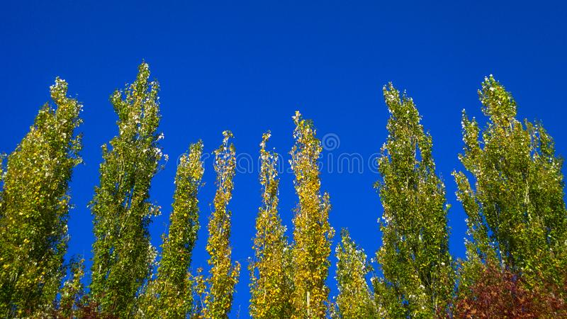 Lombardy Poplar Tree Tops Against Blue Sky On A Windy Day. Abstract Natural Background. Autumn Trees, Colorful Fall Foliage. royalty free stock images