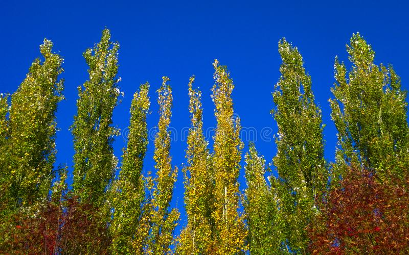 Lombardy Poplar Tree Tops Against Blue Sky On A Windy Day. Abstract Natural Background. Autumn Trees, Colorful Fall Foliage. royalty free stock image