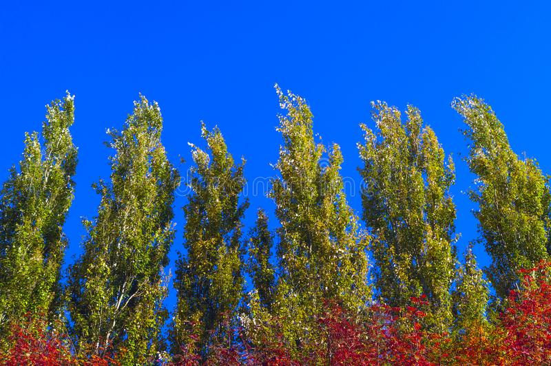 Lombardy Poplar Tree Tops Against Blue Sky On A Windy Day. Abstract Natural Background. Autumn Trees, Colorful Fall Foliage royalty free stock image