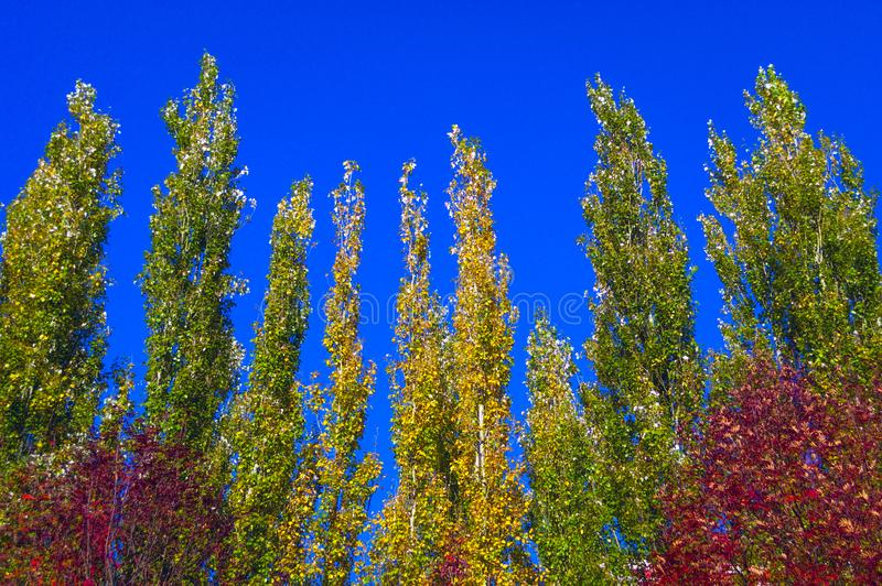 Lombardy Poplar Tree Tops Against Blue Sky On A Windy Day. Abstract Natural Background. Autumn Trees, Colorful Fall Foliage. royalty free stock photos