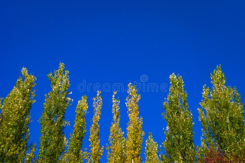 Lombardy Poplar Tree Tops Against Blue Sky On A Windy Day. Abstract Natural Background. Autumn Trees, Colorful Fall Foliage. stock photos