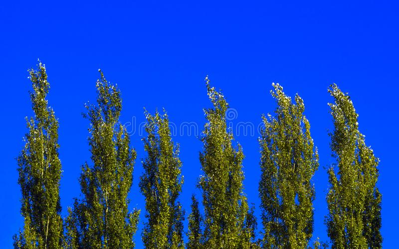 Lombardy Poplar Tree Tops Against Blue Sky On A Windy Day. Abstract Natural Background. stock photography