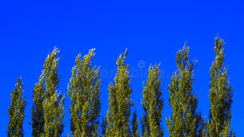 Lombardy Poplar Tree Tops Against Blue Sky On A Windy Day. Abstract Natural Background. royalty free stock photo