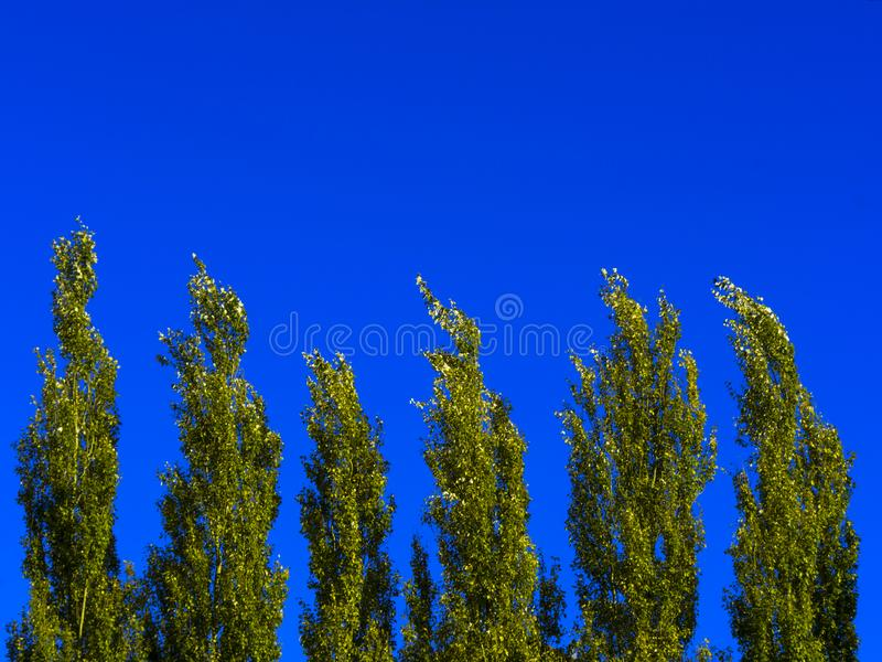 Lombardy Poplar Tree Tops Against Blue Sky On A Windy Day. Abstract Natural Background. Lombardy Poplar Tree Tops Against Blue Sky On A Windy Day. Abstract stock images