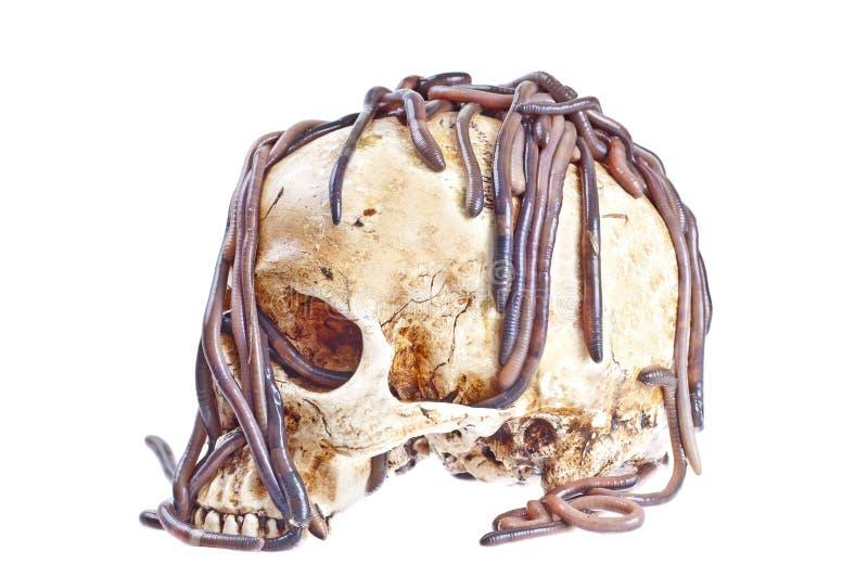 Lombrices de tierra en el cráneo fotografía de archivo