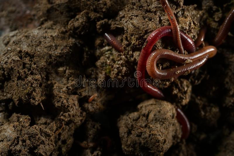 Lombrices de tierra en suelo con las hojas secas foto de archivo libre de regalías