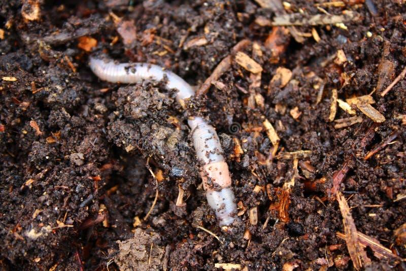 Lombriz de tierra en el estiércol vegetal imagenes de archivo