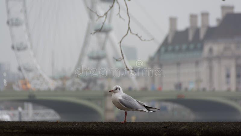 LONDON FÖRENADE KUNGARIKET - NOVEMBER 23, 2018: Dimmig morgonSeagull på bakgrunden av den London Eye och Westminster bron royaltyfri fotografi