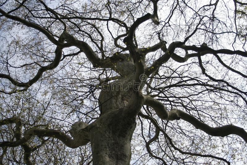 London plane tree. An ancient London plane tree Platanus × acerifolia with twisting branches silhouetted against a grey sky. Taken at Crimsworth House royalty free stock photos