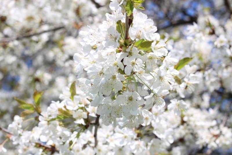 London Stad Kensington tr?dg?rdar i v?r Apple tr?d i blomning Kensington arbeta i tr?dg?rden en av de kungliga uppeh?llen av brit royaltyfri bild