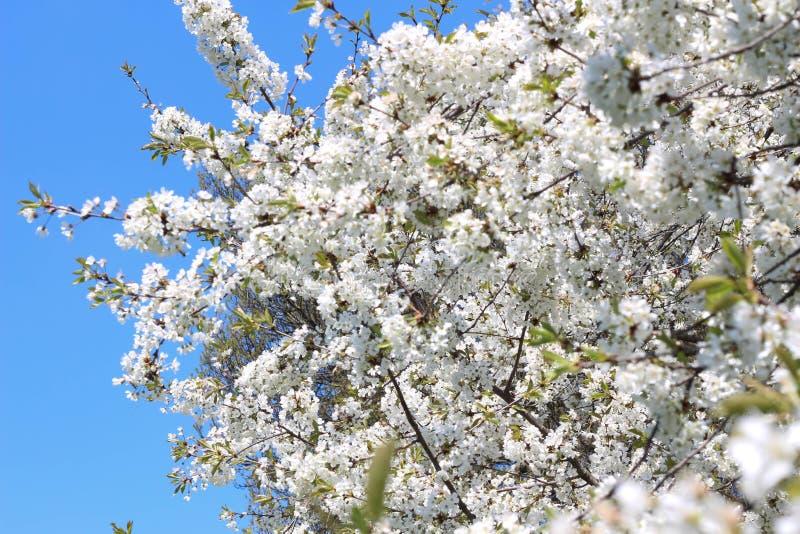 London Stad Kensington tr?dg?rdar i v?r Apple tr?d i blomning Kensington arbeta i tr?dg?rden en av de kungliga uppeh?llen av brit royaltyfria foton