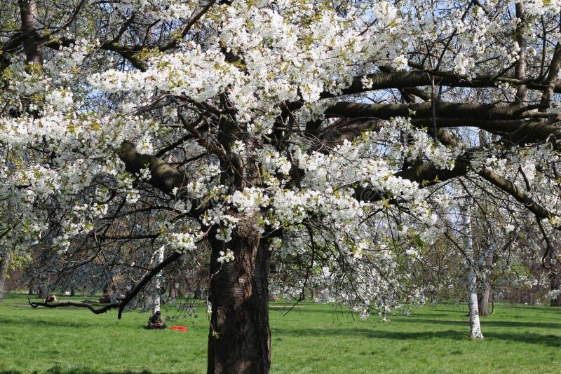 London Stad Kensington tr?dg?rdar i v?r Apple tr?d i blomning Kensington arbeta i tr?dg?rden en av de kungliga uppeh?llen av brit royaltyfri foto