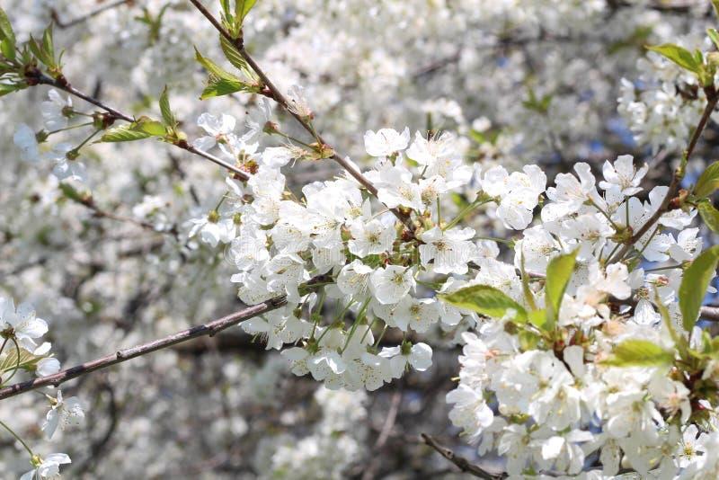 London Stad Kensington tr?dg?rdar i v?r Apple tr?d i blomning Kensington arbeta i tr?dg?rden en av de kungliga uppeh?llen av brit royaltyfri fotografi