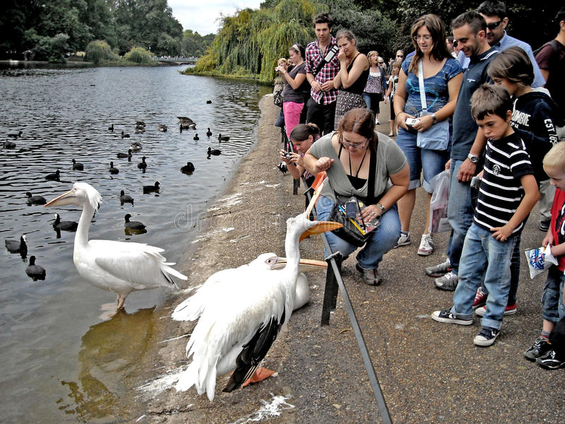 London tourists feed to the pelicans in the St James` Park stock photos