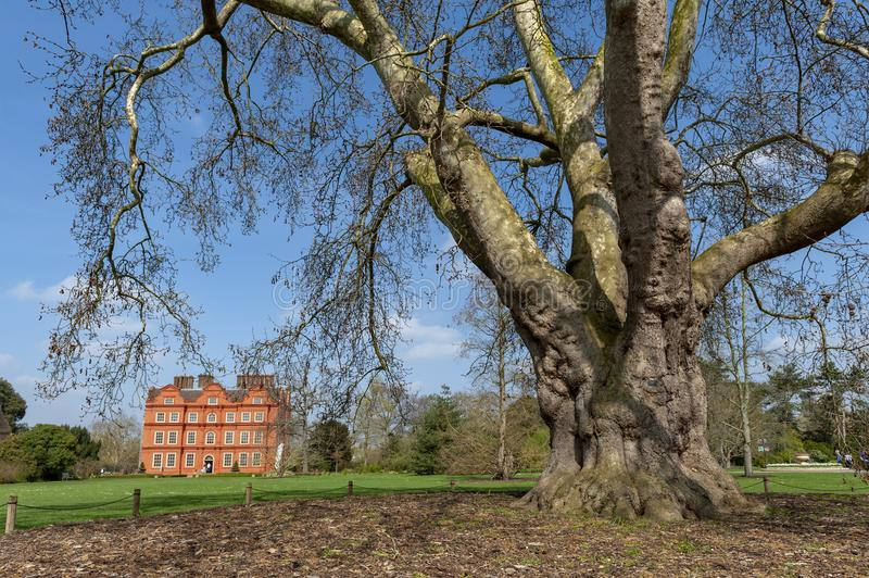 Oriental plane Platanus orientalis, one of the five oldest trees planted at Kew Gardens since 1762. London, UK - April 2018: Oriental plane Platanus orientalis royalty free stock images