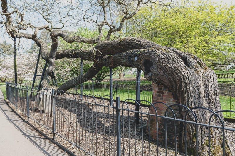 London UK - April 2018: Träd för japansk pagod som planteras på original- plats i Kew trädgårdar efter 1760 arkivbilder