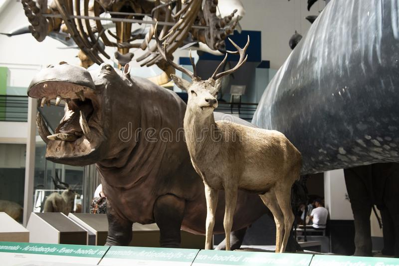 London, UK - August 22, 2019 - Stuffed animals and skeletons are displayed at the Natural History Museum in London, UK stock photography