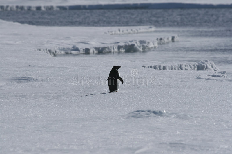 Lone adelie penguin stock images