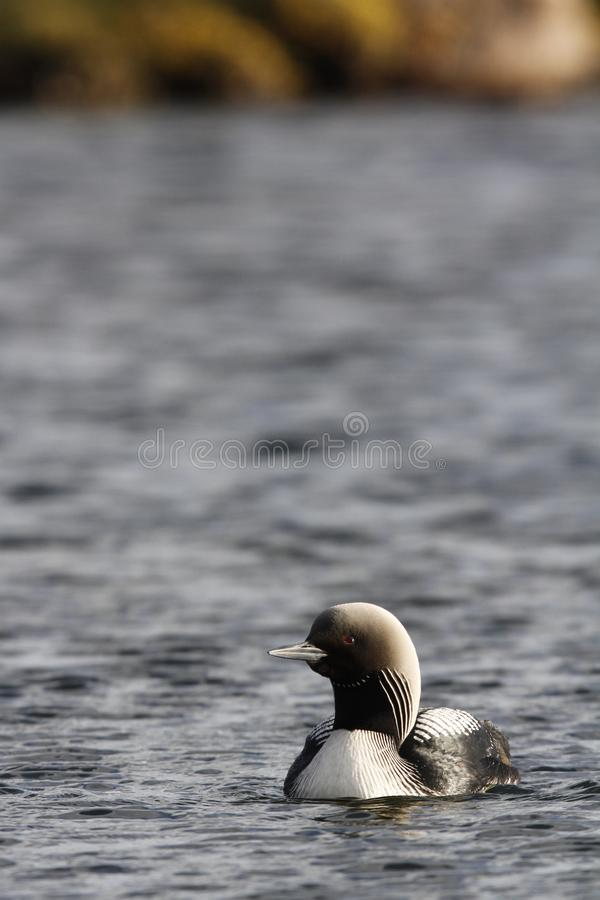 Lone adult Pacific Loon or Pacific Diver Gavia pacifica in breeding plumage swimming in arctic waters stock photo