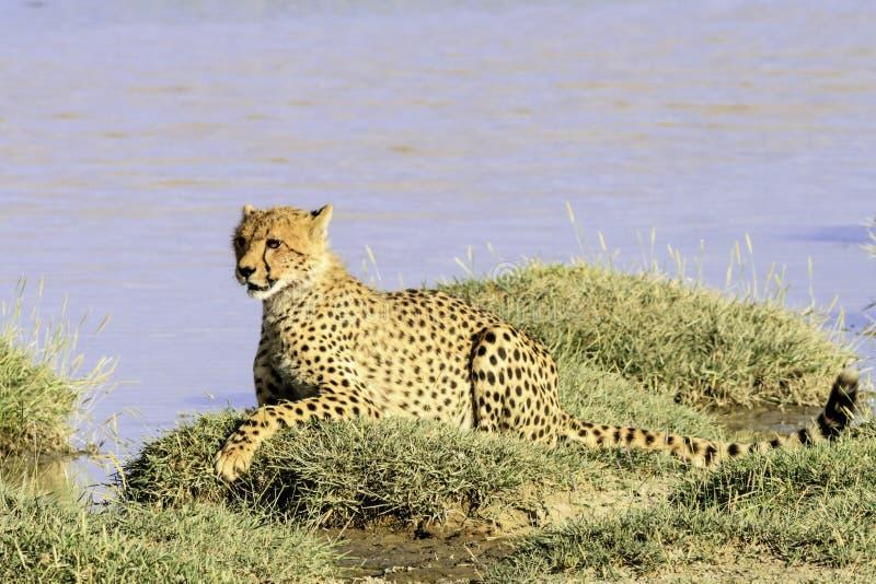 Tanzanian cheetah in the Serengeti. Lone adult Tanzanian cheetah, Acinonyx jubatus raineyii, in the Serengeti National Park lying on grass on the skyline keeping stock photos
