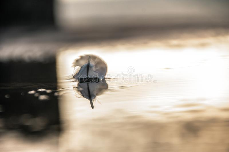 A lone angel feather on the surface of the water. The reflection in the water. a great saver. Beautiful sunset royalty free stock images