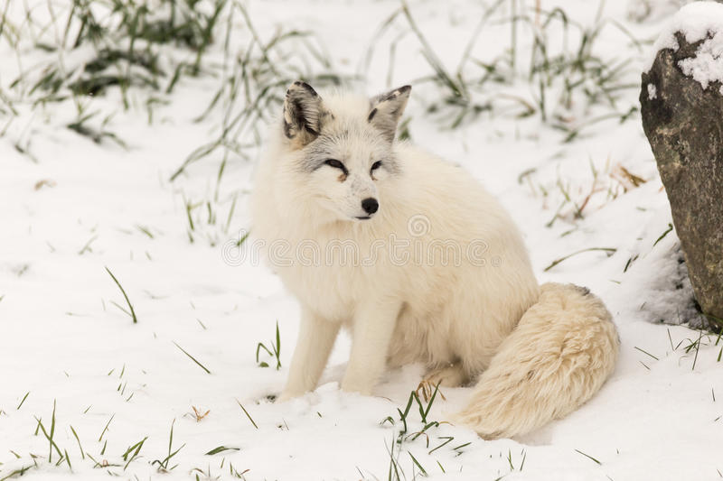 Lone Arctic Fox in a winter environment. A Lone Arctic Fox in a winter environment stock images