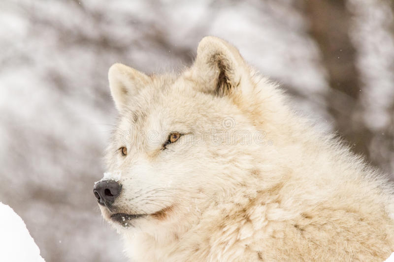 A lone Arctic Wolf in the winter royalty free stock image