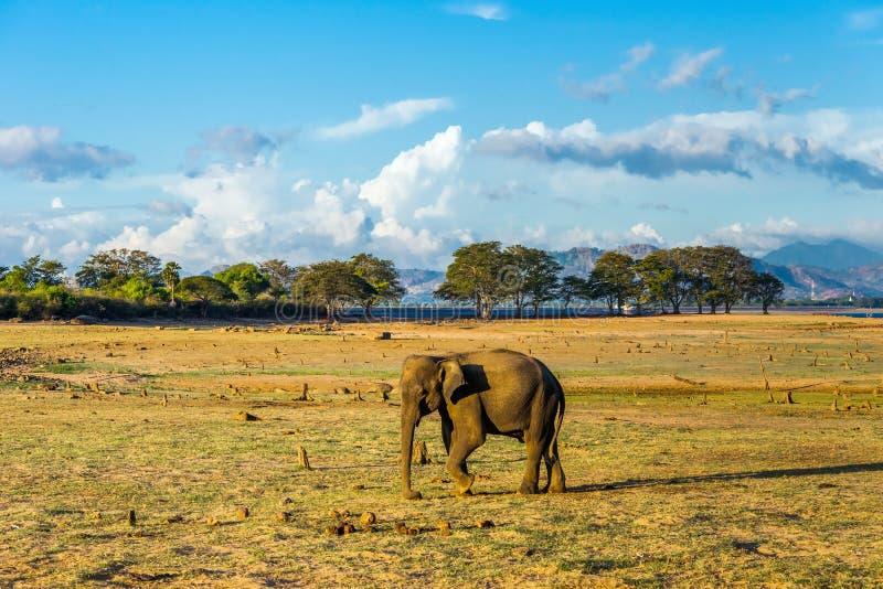 Lone asian elephant walking. In Udawalawe natinal park stock photography