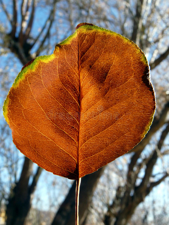 Lone Aspen Leaf royalty free stock photo