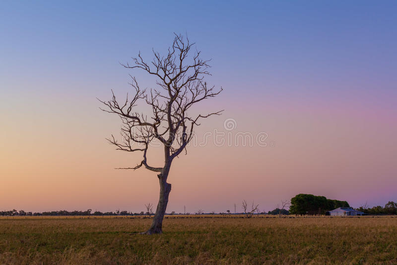 Lone bare dry tree in field at sunset. Lone bare dry tree in field at sunset royalty free stock photography