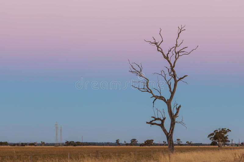Lone bare dry tree in yellow field at pink dusk. Lone bare dry tree in yellow field at pink dusk stock photography