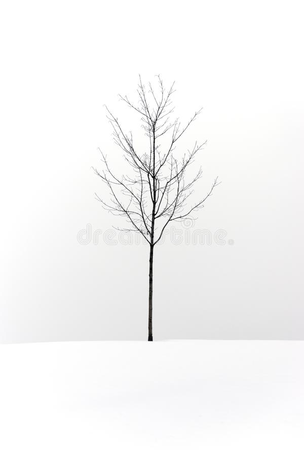 Lone bare tree standing on a snow covered hill against a white s stock image