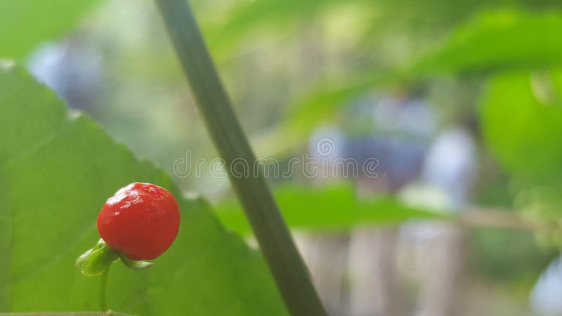 The Lone Berry royalty free stock photos