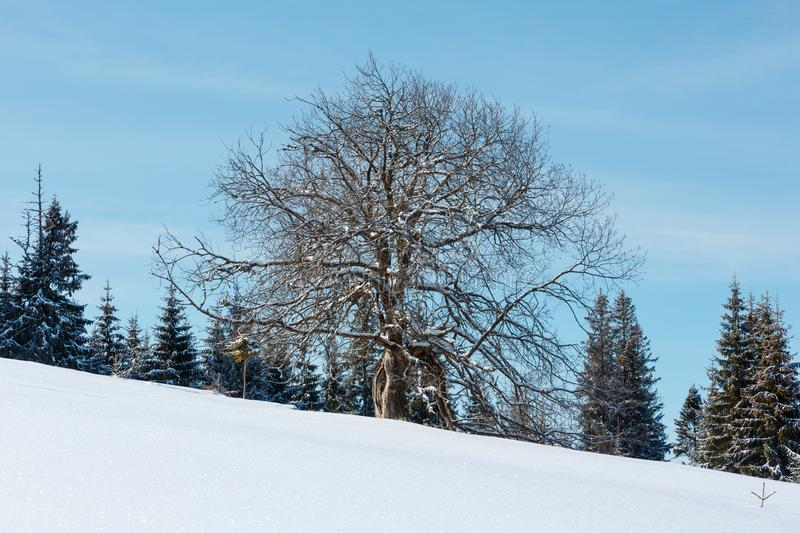 Lone big tree on winter snowy mountain plateau hill slope. Lone big fruit tree on picturesque winter snowy mountain plateau hill slope on blue cloudy sky royalty free stock photography