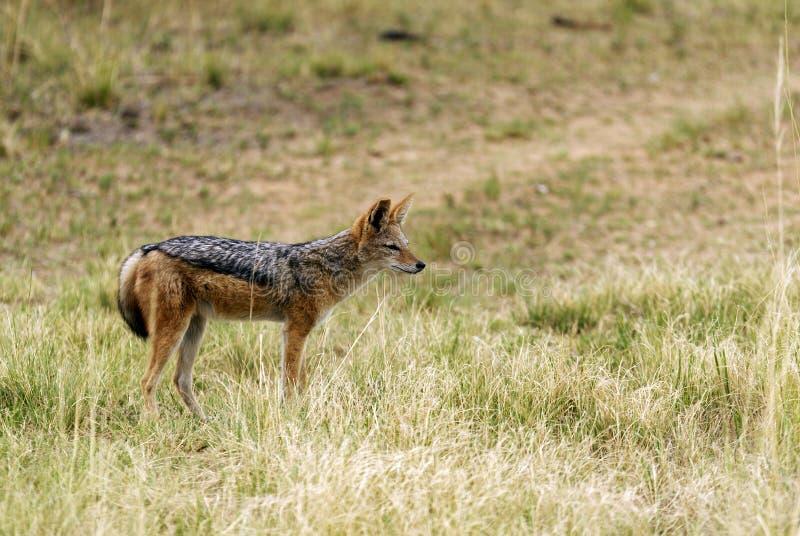 Black-backed jackal stock image