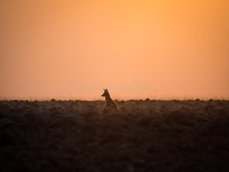 Lone black backed jackal looking into distance during golden sunset, Palmwag Concession, Namibia, Southern Africa.  stock images