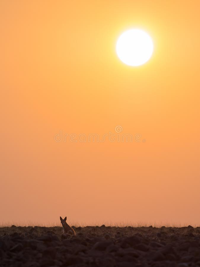 Lone black backed jackal looking into distance during golden sunset, Palmwag Concession, Namibia, Southern Africa.  stock photo