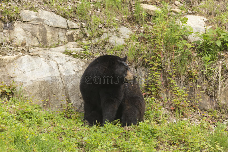 Lone black bear in a valley. A Lone black bear in a valley stock photo