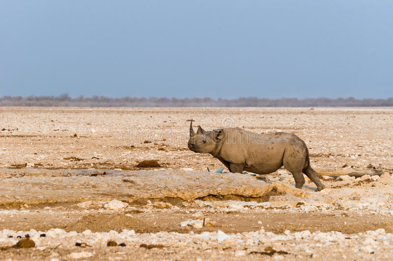 Lone black hook-lipped rhino in Etosha national park. Lone black hook-lipped rhino standing at artificial Gemsbokvlakte waterhole before sunset. Etosha national royalty free stock image