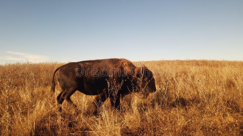 A Lone Buffalo fotografering för bildbyråer