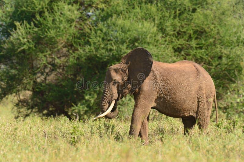 Lone Bull elephant in the Serengeti stock photos