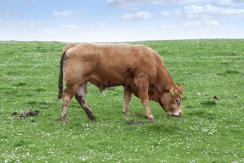 Lone bull feeding on the green grass royalty free stock photos