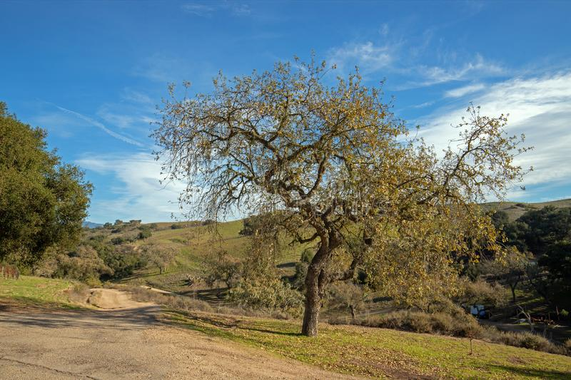 California Oak tree in winter in Central California vineyard near Santa Barbara California USA. California Oak tree in winter in Central California vineyard near stock photo