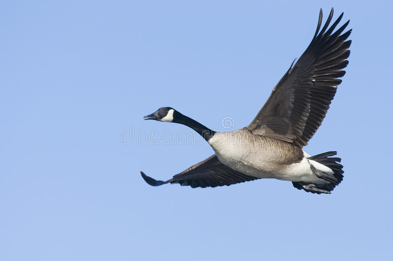 Lone Canada Goose royalty free stock photography