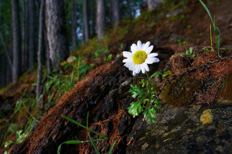 Download Lone Chamomile In A Mountain Forest Stock Photo - Image: 21128328