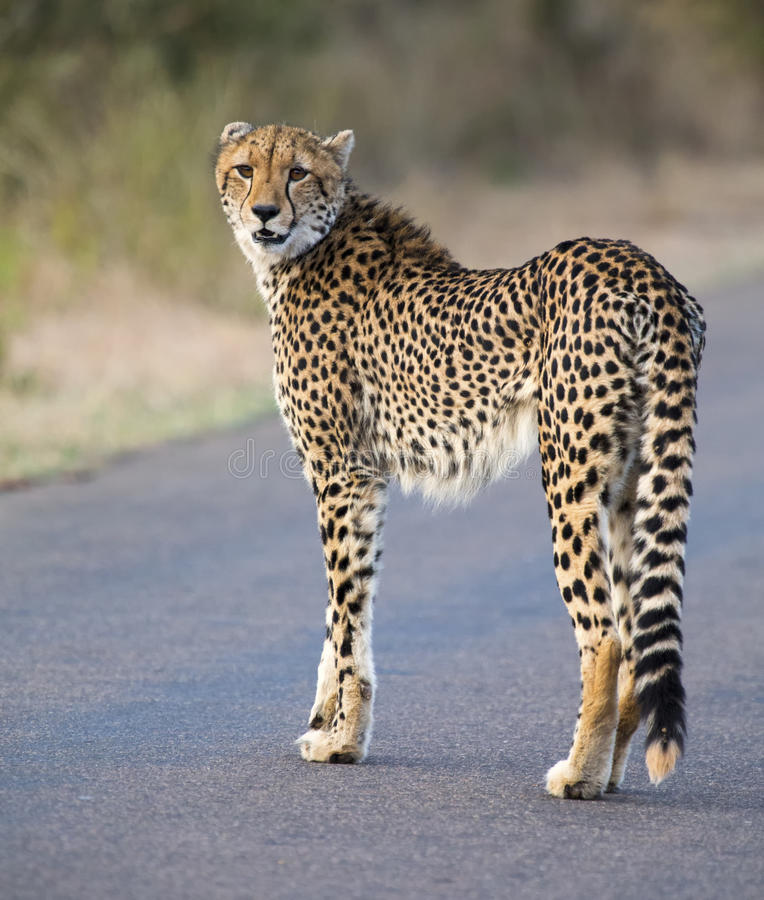 Free Lone Cheetah Walking Across Road At Dusk Stock Image - 68441951