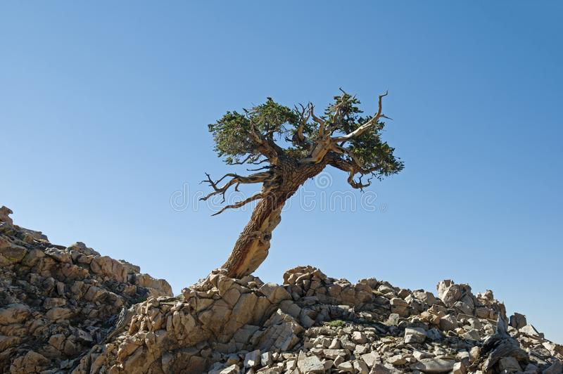 Lone Contorted Pine Tree royalty free stock images