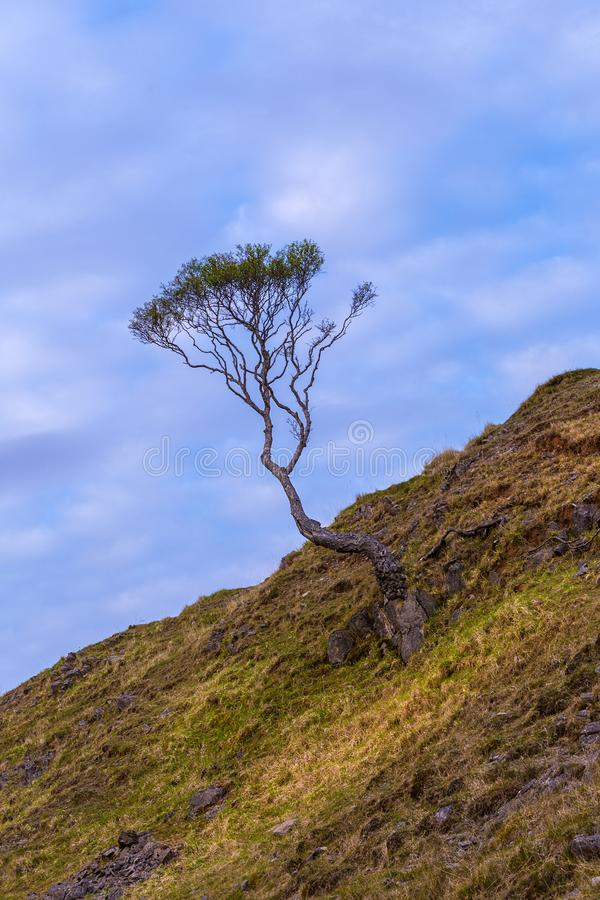 Lone contorted tree on a hillside royalty free stock photography