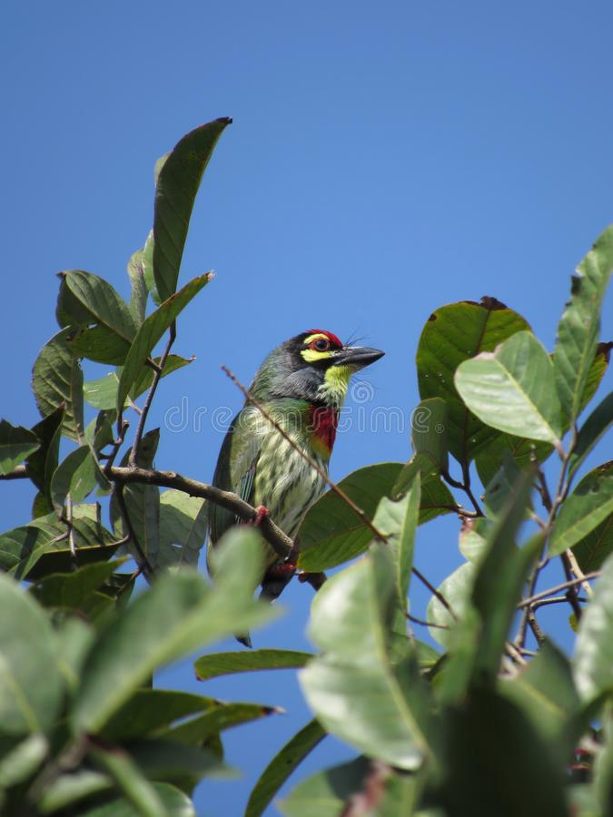 Lone Copper-Smith Barbet. Psilopogon haemacephalus perched high up atop a rambutan tree, early one morning in clear blue sky stock photo